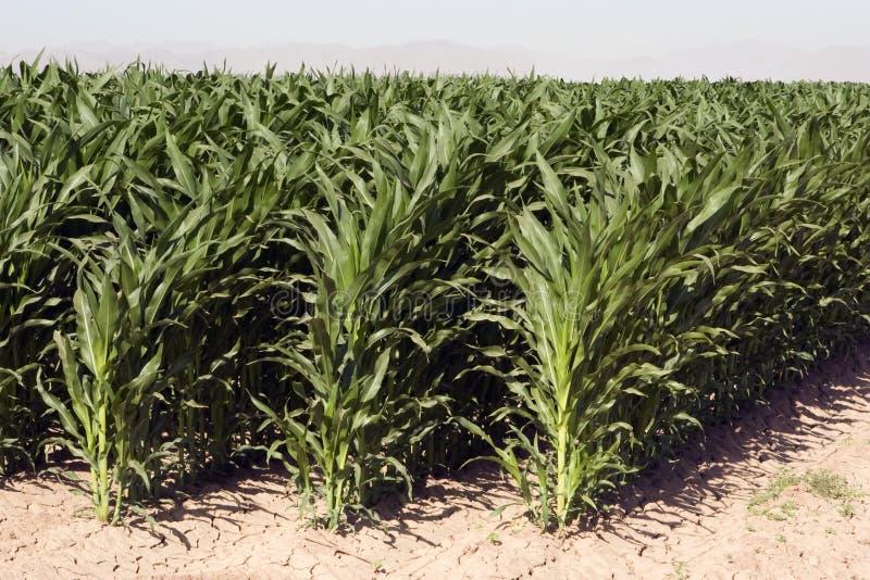 Fileiras do milho da exploração agrícola empoeirada seca do deserto imagem de stock