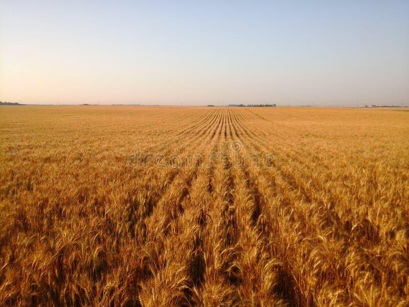 Fileiras do passo do trigo maduro dourado fotografia de stock