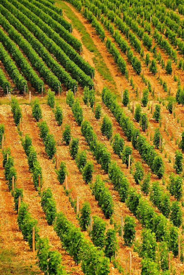 Fileiras do vinhedo, Sancerre, France foto de stock
