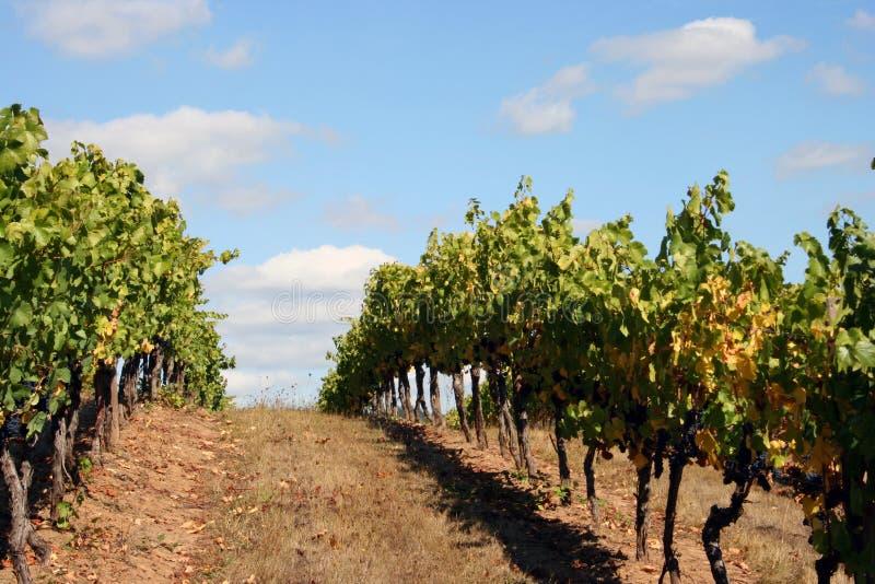 Fileiras do vinhedo sobre um monte foto de stock