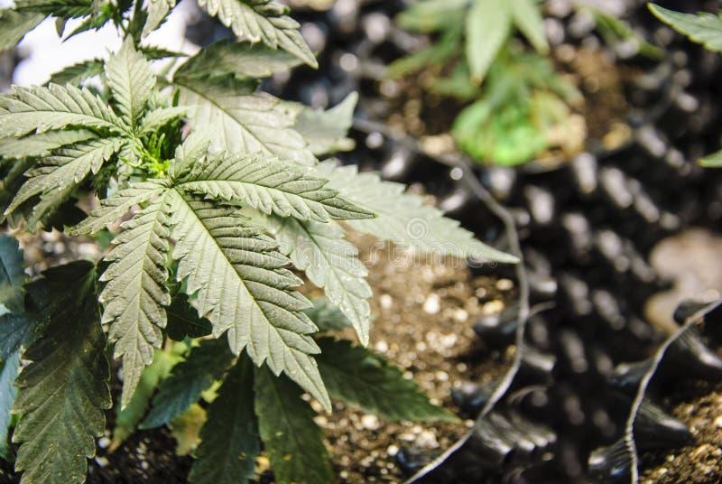 Fileiras dos cannabis que crescem no solo imagens de stock