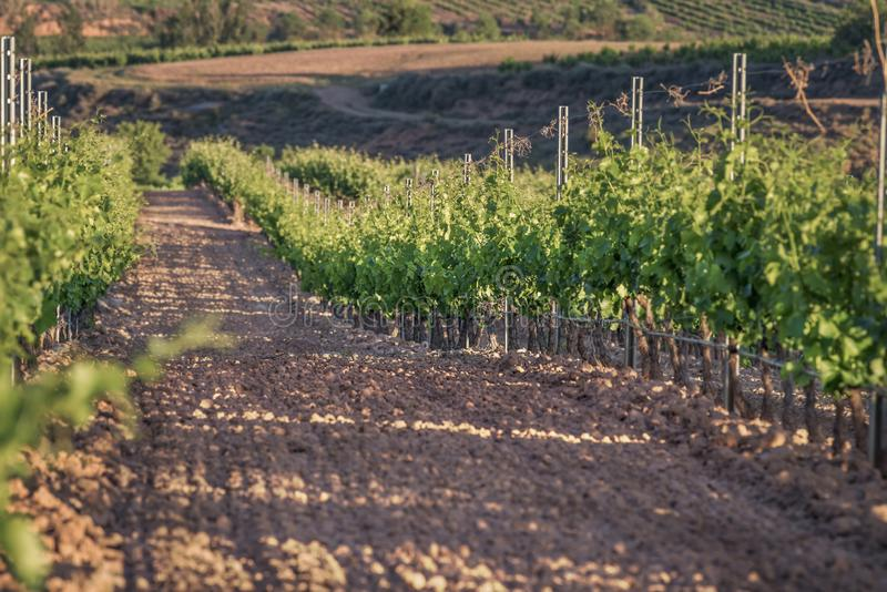 Fileiras dos vinhedos no nascer do sol com foco seletivo fotos de stock