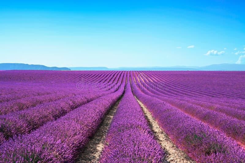 Fileiras infinitas de florescência dos campos da flor da alfazema. Valensole provence foto de stock royalty free