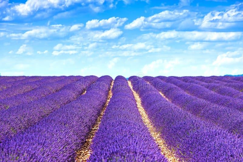 Fileiras infinitas de florescência dos campos da flor da alfazema. Valensole provence foto de stock