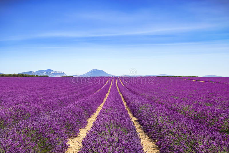 Fileiras infinitas de florescência dos campos da flor da alfazema Valensole provence fotografia de stock