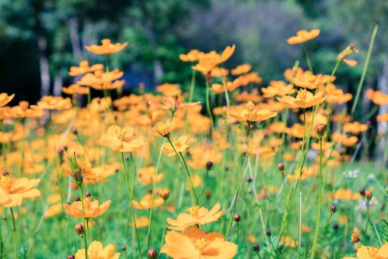 Fileiras mexicanas do amarelo alaranjado da flor do áster do cosmos fotografia de stock royalty free