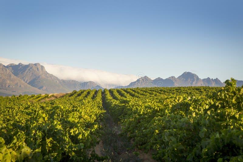 Fileiras verdes do vinhedo contra um céu azul com montanhas e nuvens fotos de stock
