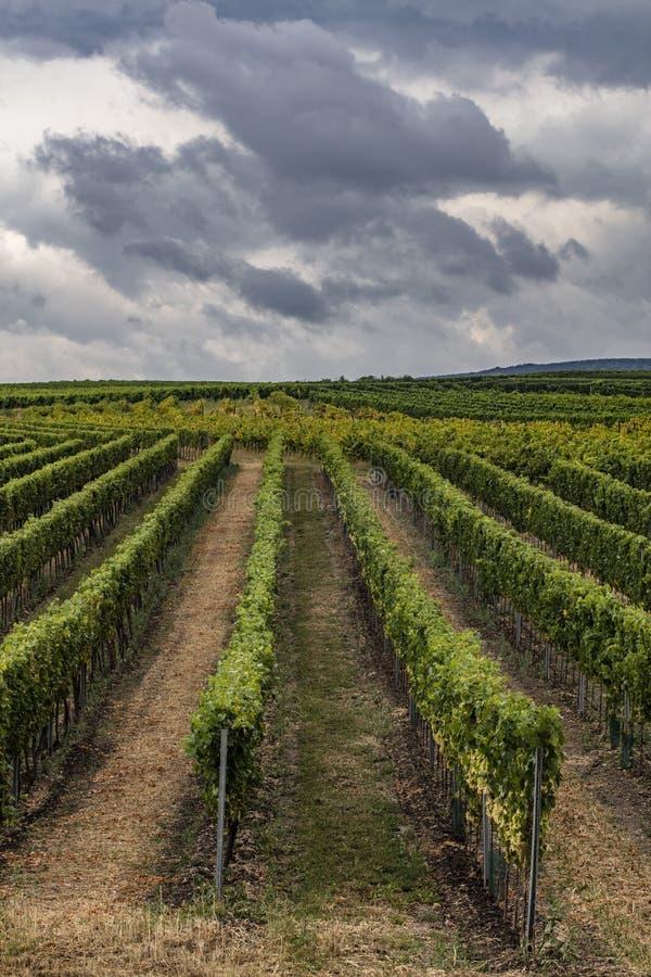 fileiras verdes dos vinhedos foto de stock royalty free