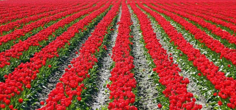 Fileiras vermelhas dos Tulips paralelamente foto de stock