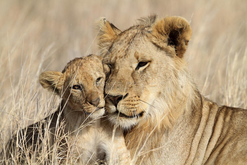Filhote babysitting do bigbrother do leão, Serengeti foto de stock royalty free