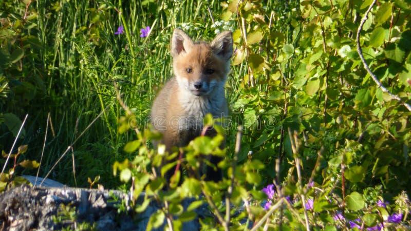 Filhote da raposa vermelha foto de stock