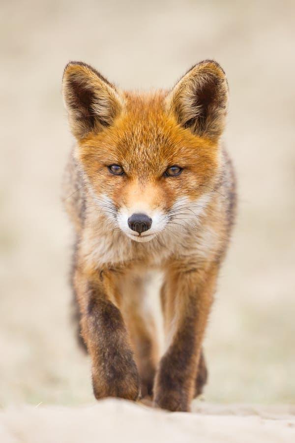 Filhote da raposa vermelha imagens de stock royalty free