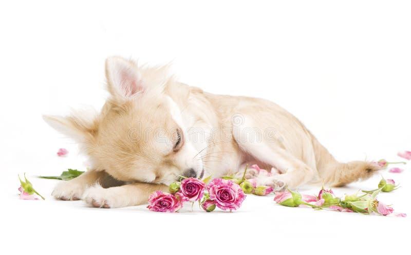 Filhote de cachorro adorável da chihuahua do sono com rosas imagens de stock royalty free