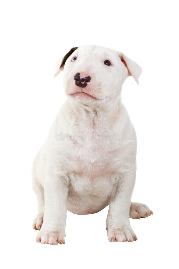 Filhote de cachorro adorável do bullterrier imagens de stock