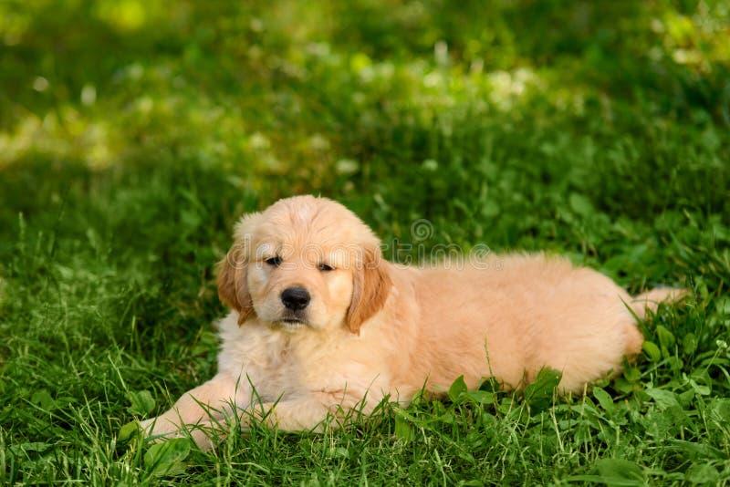 Filhote de cachorro adorável do golden retriever fotografia de stock royalty free