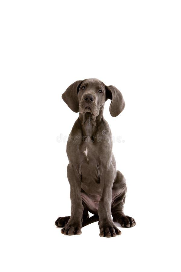 Filhote de cachorro adorável do grande dinamarquês fotografia de stock royalty free