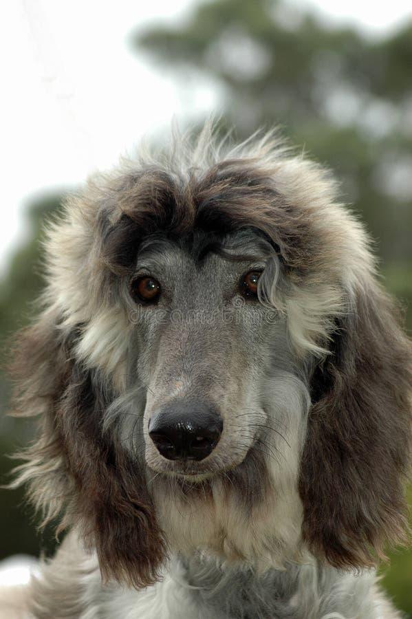 Filhote de cachorro afegão imagens de stock royalty free