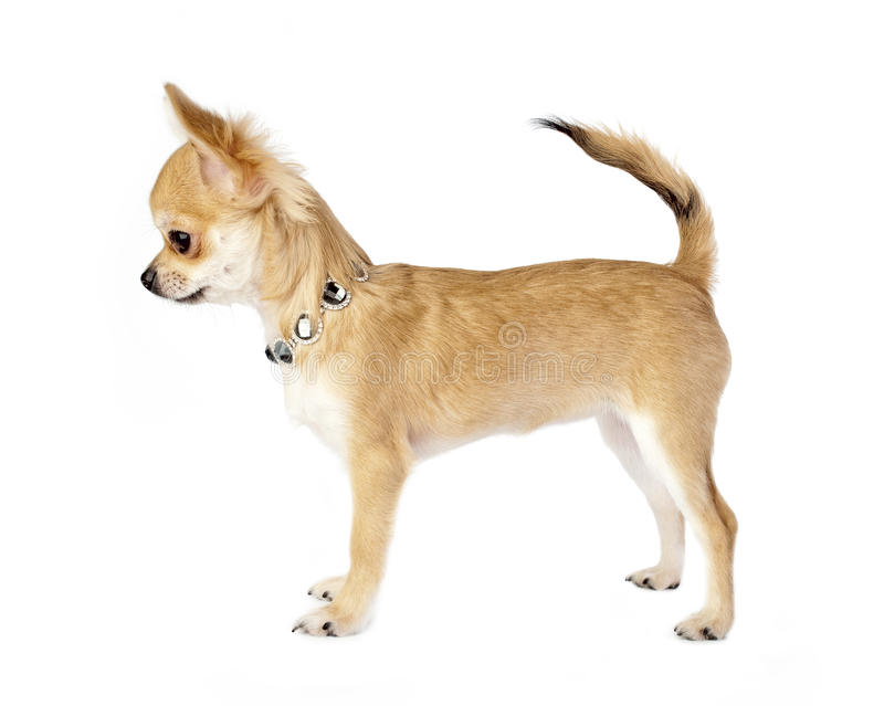 Filhote de cachorro agradável da chihuahua com colar imagem de stock