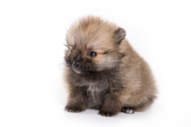 Filhote de cachorro alemão de Zwerg do Spitz fotos de stock royalty free