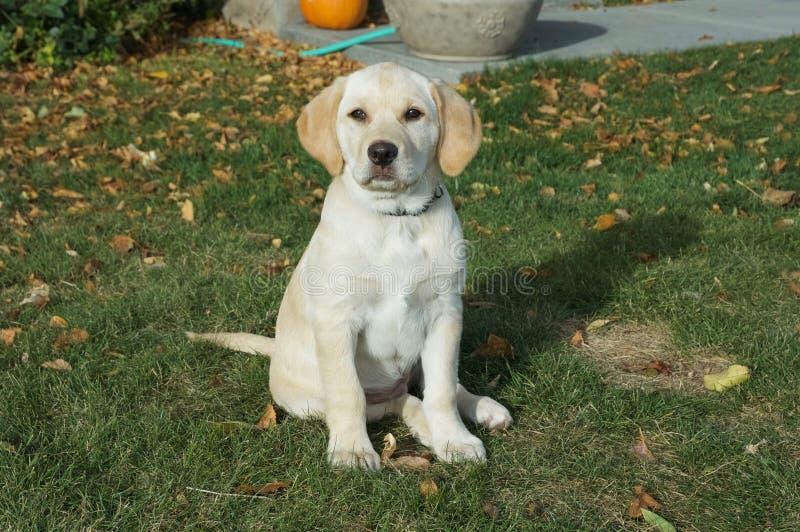 Filhote de cachorro amarelo de Labrador fotografia de stock