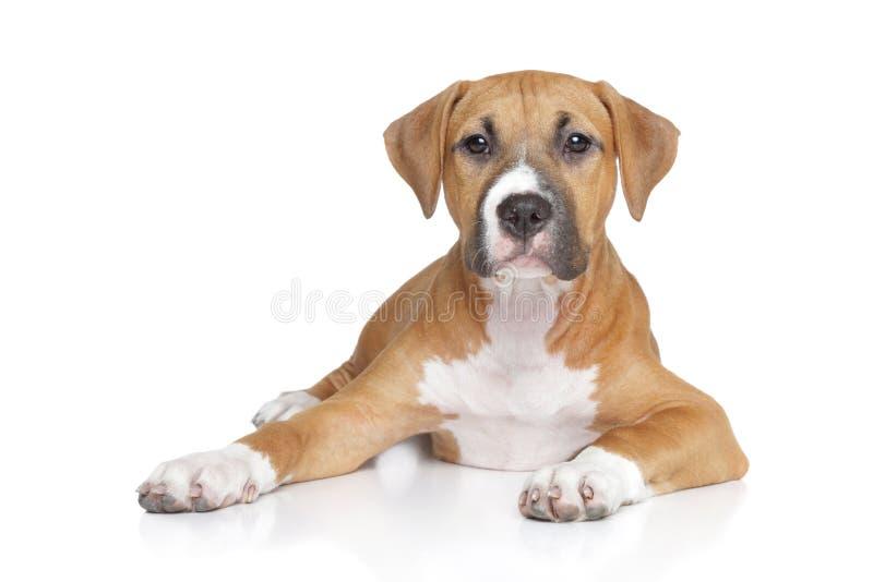 Filhote de cachorro americano de Staffordshire imagem de stock royalty free