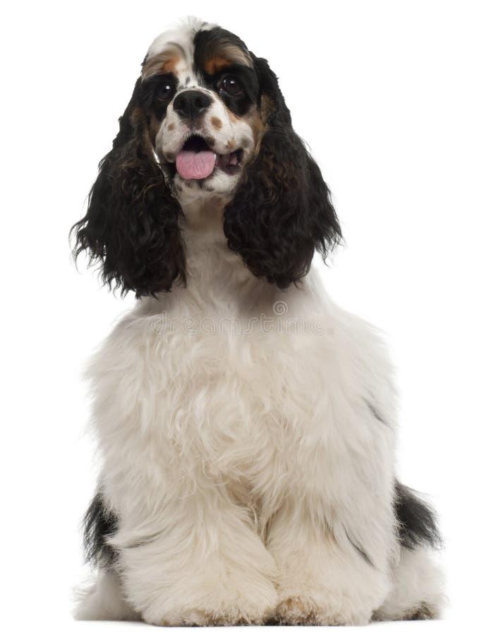 Filhote de cachorro americano do Spaniel de Cocker, 6 meses velho imagens de stock
