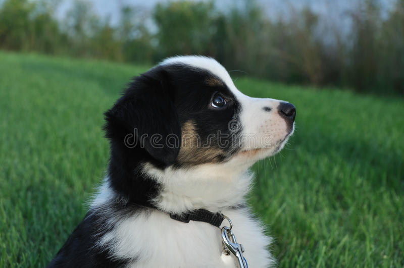 Filhote de cachorro (australiano) australiano do pastor foto de stock royalty free