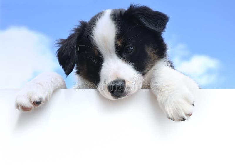 Filhote de cachorro (australiano) australiano do pastor acima do sinal imagem de stock