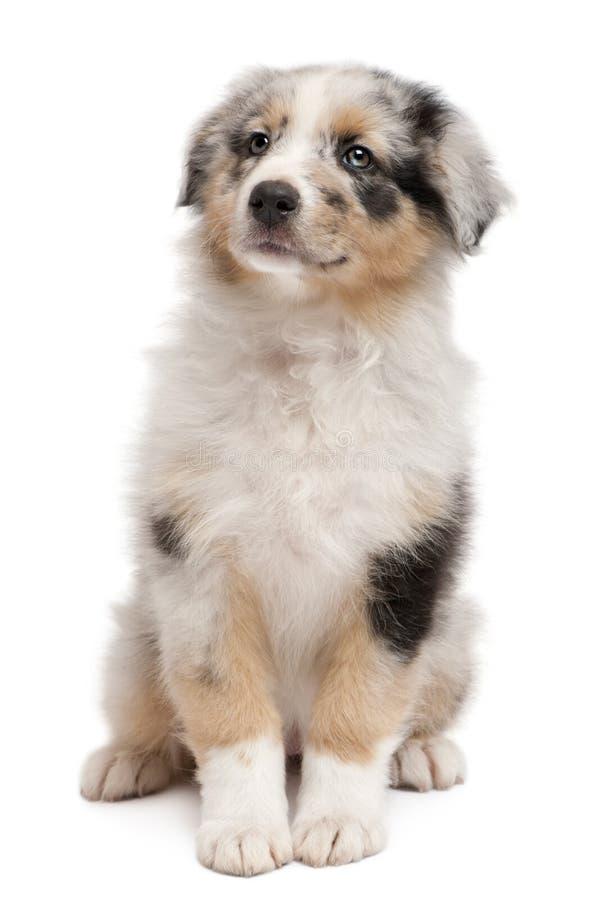Filhote de cachorro australiano azul do pastor de Merle foto de stock royalty free