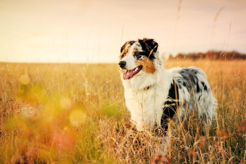 Filhote de cachorro australiano do pastor imagens de stock