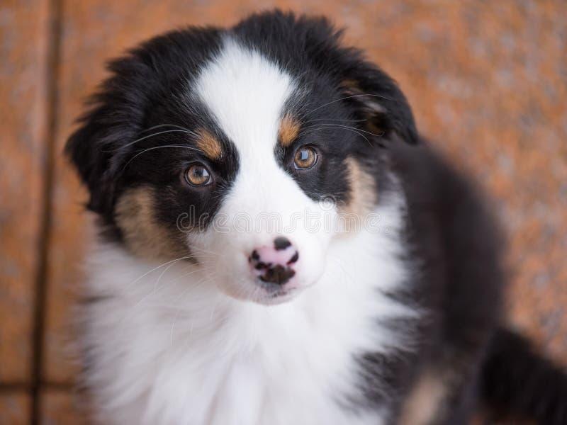 Filhote de cachorro australiano do pastor fotos de stock