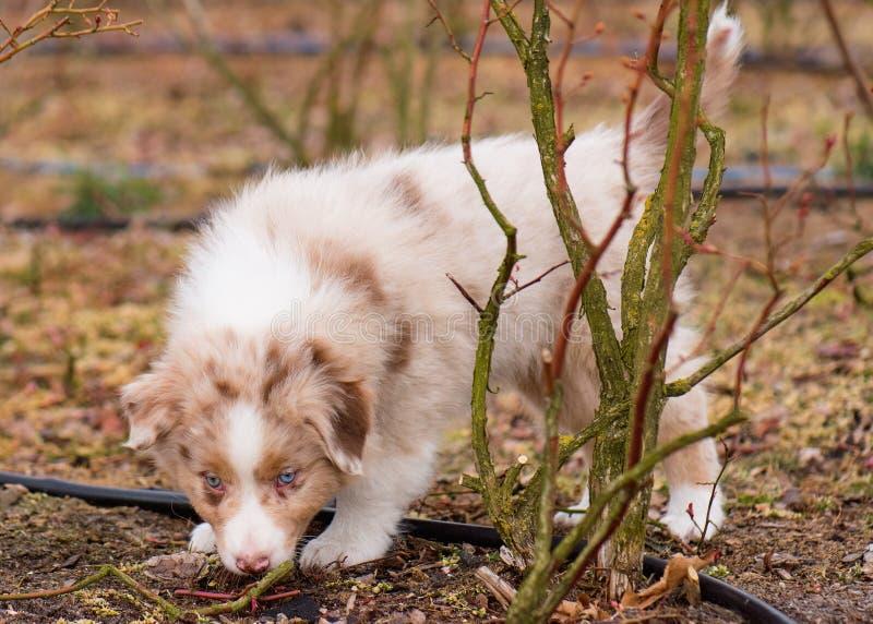 Filhote de cachorro australiano do pastor fotografia de stock