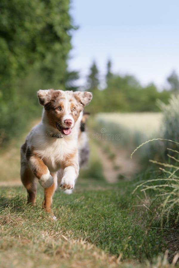 Filhote de cachorro australiano do pastor fotografia de stock royalty free