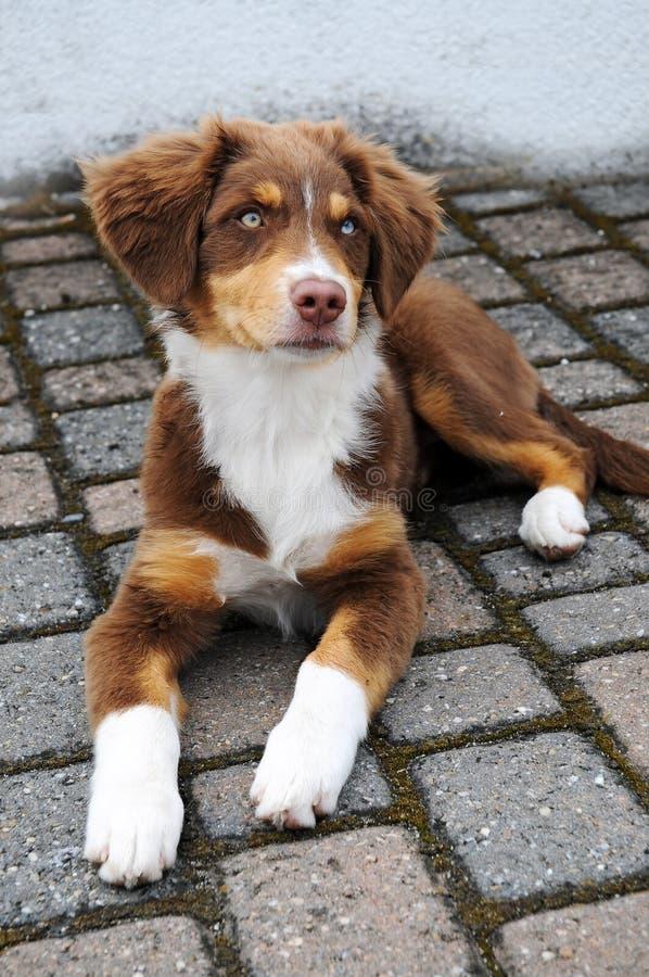 Filhote de cachorro australiano do pastor imagens de stock royalty free