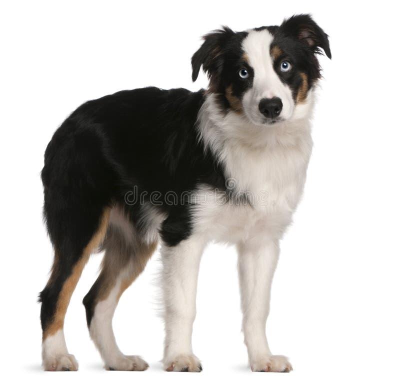 Filhote de cachorro australiano do pastor, 5 meses velho foto de stock