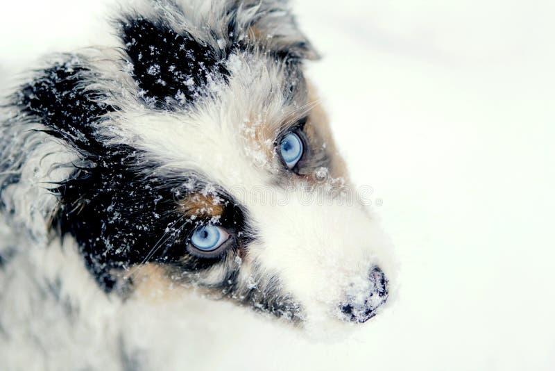 Filhote de cachorro australiano do pastor na neve foto de stock royalty free