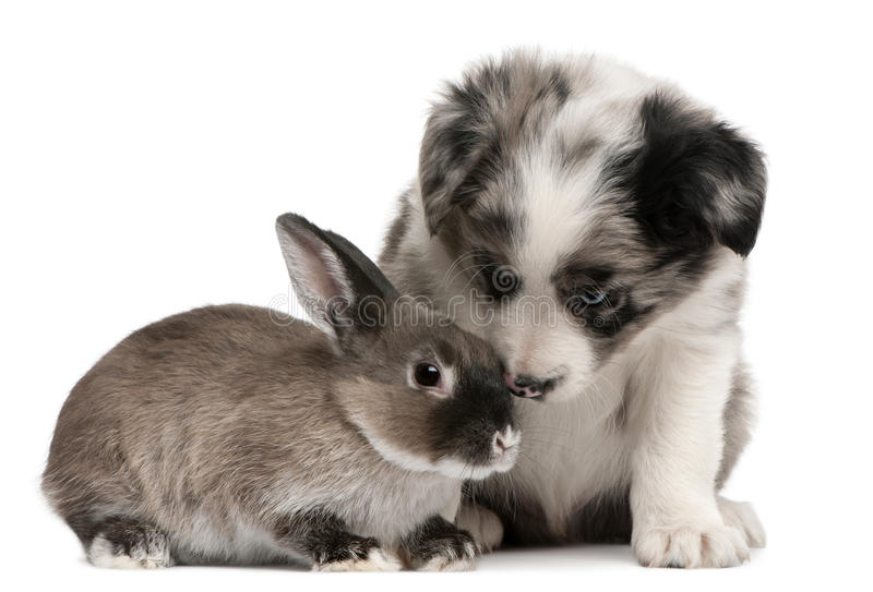 Filhote de cachorro azul do Collie de beira de Merle e um coelho fotos de stock