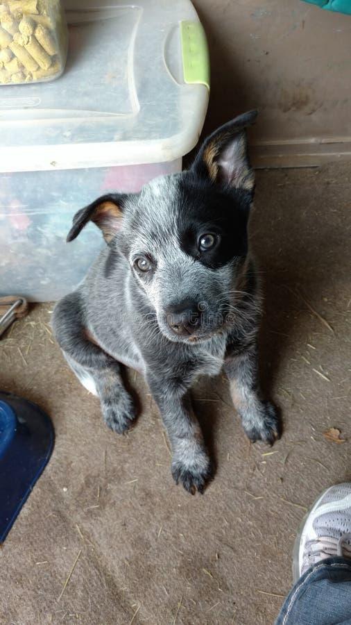 Filhote de cachorro azul do heeler foto de stock