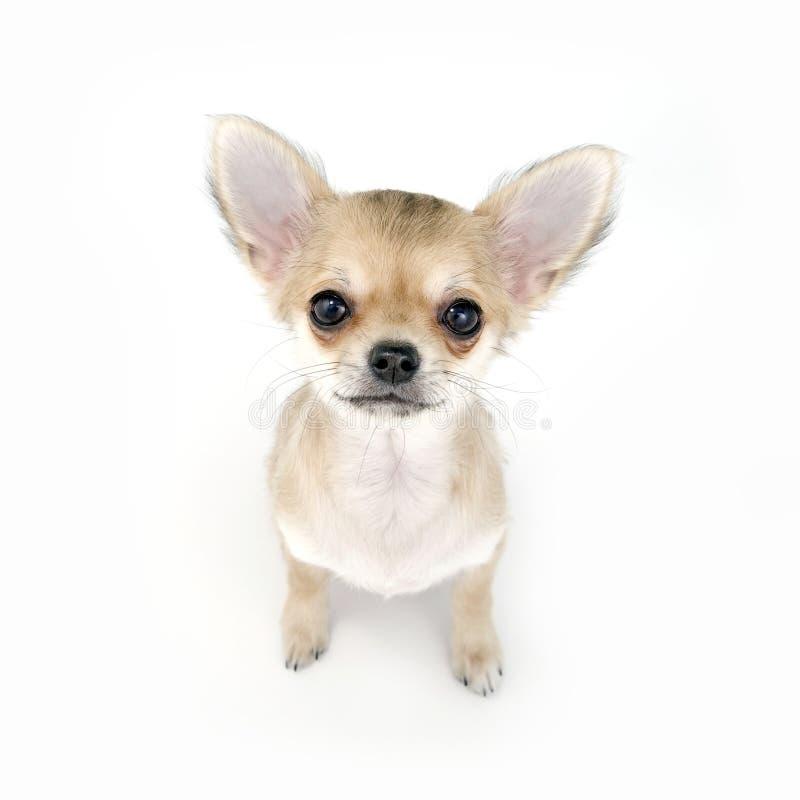 Filhote de cachorro bege pálido adorável da chihuahua que senta-se no whi fotografia de stock