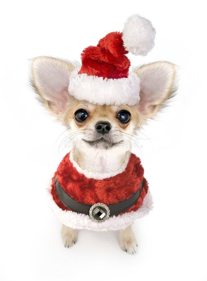Filhote de cachorro bonito da chihuahua com o traje de Santa isolado