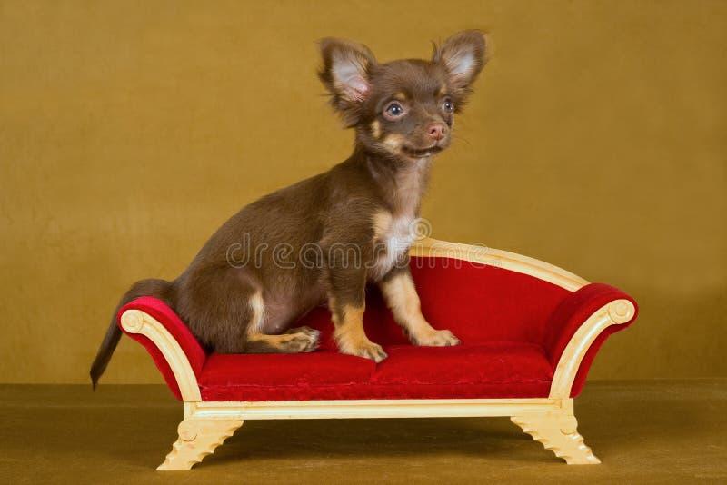 Filhote de cachorro bonito da chihuahua no sofá marrom imagens de stock