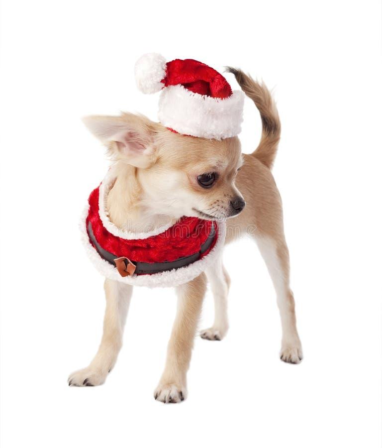 Filhote de cachorro bonito da chihuahua que desgasta o traje de Santa fotografia de stock