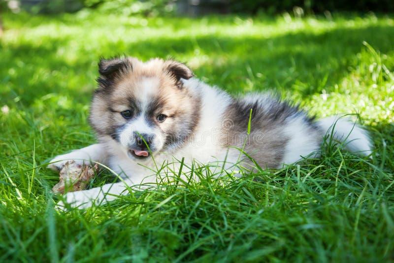 Filhote de cachorro bonito de Elo foto de stock royalty free