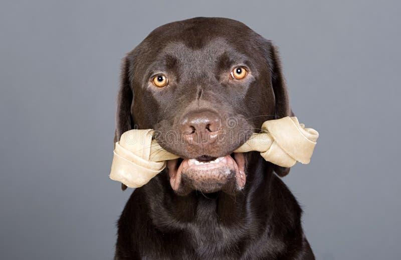 Filhote de cachorro bonito de Labrador com o couro cru feito em sua boca fotos de stock