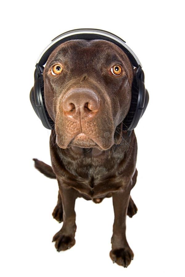 Filhote de cachorro bonito de Labrador do chocolate com auscultadores imagens de stock royalty free