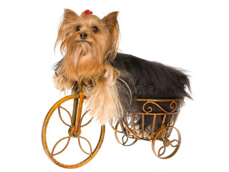 Filhote de cachorro bonito de Yorkie na mini bicicleta marrom foto de stock royalty free