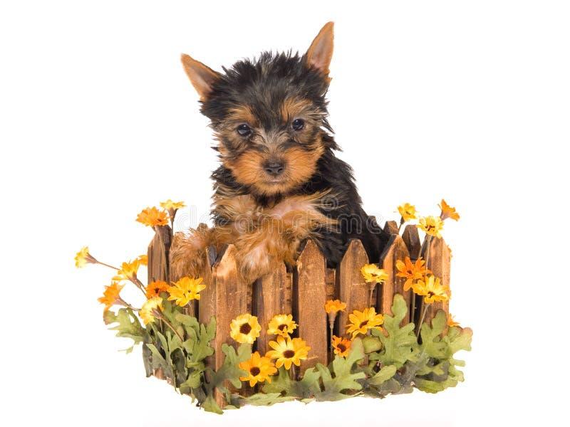 Filhote de cachorro bonito de Yorkie que senta-se dentro do plantador do daisie fotografia de stock royalty free