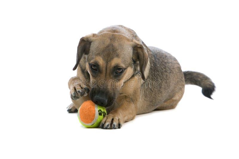 Filhote de cachorro bonito do Pinscher com esfera imagem de stock royalty free