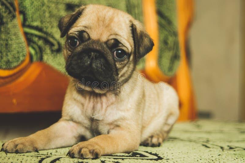 Filhote de cachorro bonito do pug imagens de stock