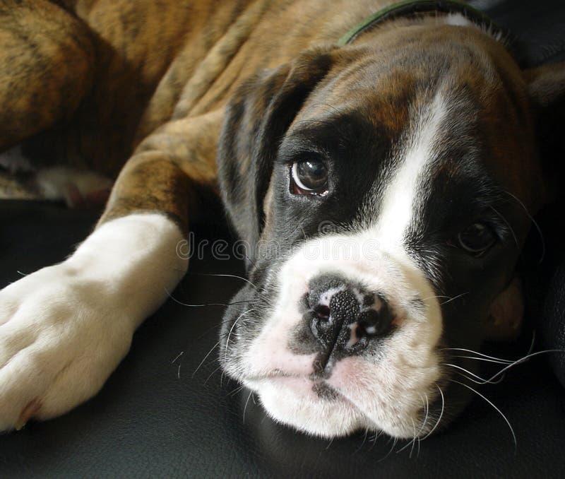 Filhote de cachorro bonito do pugilista fotografia de stock